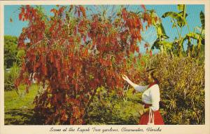 Australian Weeping Bottle Brush Tree Kapok Tree Gardens Clearwater Florida