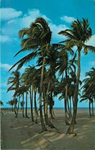 Florida Pal Trees Swaying in Trade Winds FL pm 1968 Postcard