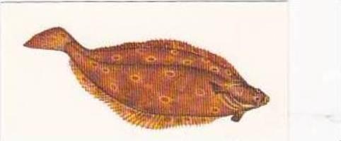 Craven Black Cat Vintage Cigarette Card Sport Fish No 24 Plaice