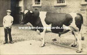 germany, LUCKAU, Fürstlich Drehna, Boy with Bull Cow (1915) RPPC (2)