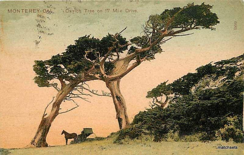 1909 PCK SERIES MONTEREY CA Ostrich Tree 17 mile Drive 7535 postcard