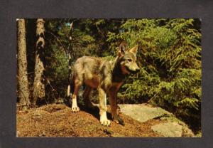 ON Pup Wolf Algonquin Park Ontario Canada Carte Postale Postcard Wolfes Animal
