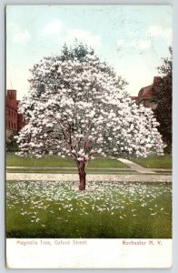 Rochester New York~Oxford Street Magnolia Tree Blossoming~Petals on Ground~1905