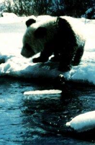 Panda Bear Florida Splendid China