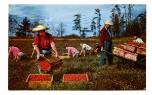 MA - Cape Cod. Harvesting Cranberries