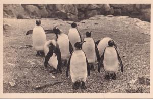 Edinburgh Penguins Vintage Scottish Zoo Antique Postcard