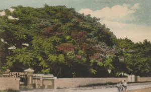 BERMUDA, 1900-10s ; A Poinciana Tree, Children sitting on a wall