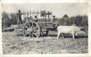 Cuba, Republica De Cuba  Sugar Cane Real Photo