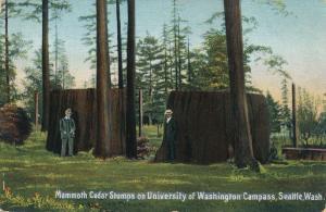 Mammoth Cedar Stumps University of Washington Campus at Seattle - Roadside - DB