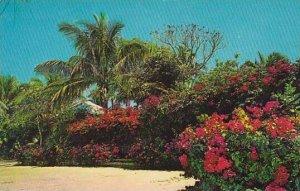 Bahamas Nassau Beautiful Bougainvillea