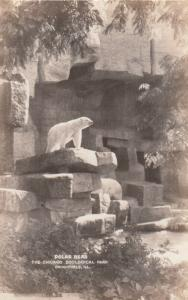 RP; BROOKFIELD, Illinois, 30-50s; Polar Bear, The Chicago Zoological Park