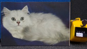 White Cat From Cat and Kittens Postcards Dover Publications 1983 Unposted