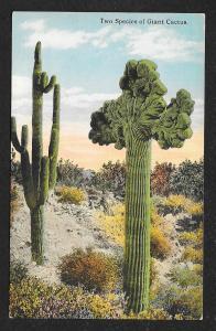Close View 2 Species of Cactus Used c1910s