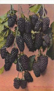 Panama-Pacific International Expo 1915 Mammoth Blackberries