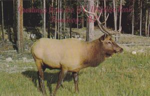 Wildlife Park, Male Elk, Canadian Rockies, KAMLOOPS, British Columbia, Canada...