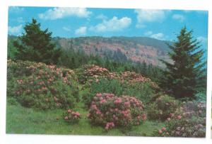 Rhododendron Roan Mountain Tennessee TN Postcard