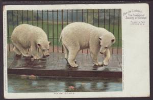 Polar Bears,London Zoo Postcard