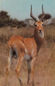 Uganda Kob Deer African Wild Animal Postcard