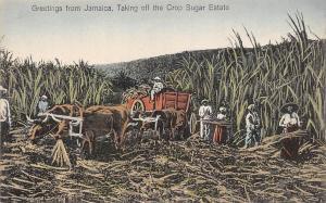 Jamaica Greetings! Taking off the Crop Sugar Estate, Cattle Oxen Yoke Harvest