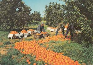 Portugal Algarve orange harvest postcard