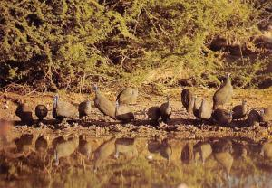 Namibia Guinea Fowls, Etosha S.W.A. Terentale, Perlhuhner
