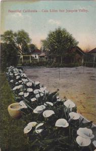Cala Lillies, San Joaquin Valley, California, 1900-1910s
