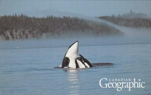 Orcas, Killer Whales, Canadian Geographic, Canada, 40-60´s