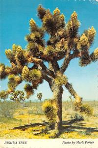 Joshua Tree - San Bernardino, California