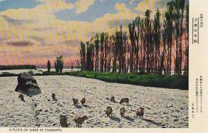 Flock of sheep at TSUKISAPPU, Japan. 1940-50s