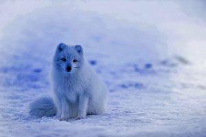 Fine Art Quality Animal Postcard,  Arctic Fox 12G