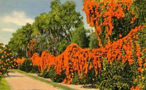 FL - The Flame Vine