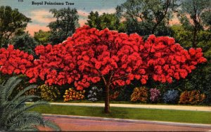 Florida Royal Poinciana Tree In Full Bloom 1959