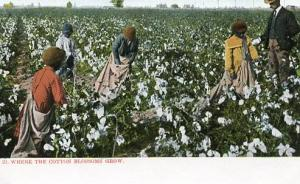 Where the Cotton Blossoms Grow