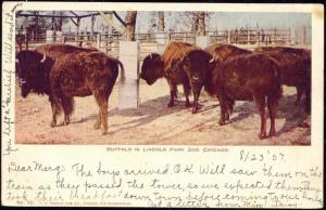 Chicago, Ill., Buffalo in Lincoln Park Zoo (1907)