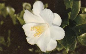 Alabama Mobile Beautiful Imura Camellia Bellingrath Gardens
