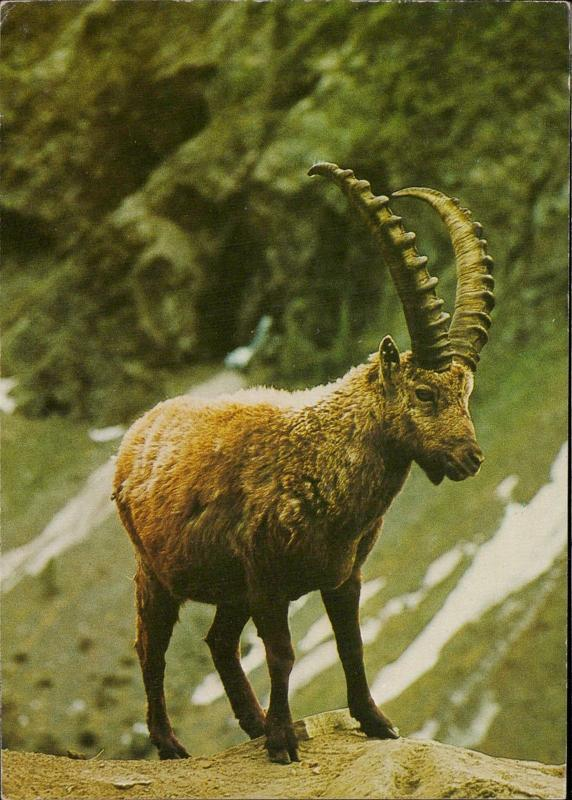 alpine goat huge horns animal topic