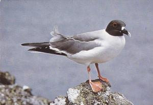 Galapagos Islands , Ecuador , 50-70s , swallow-tailed gull