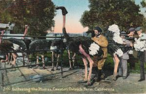 Gathering the Plumes, Cawston Ostrich Farm,California,00-10s