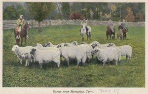MEMPHIS , Tennessee, 1900-10s ; Sheep Herd