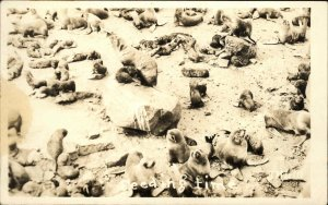 Group or Pod of Seals JHLM Real Photo Postcard #3