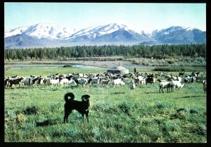 A SHEEP DOG in the grazing field MONGOLIA Real Photo MNR Postcard