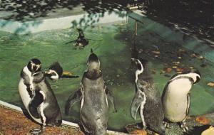 Penguins,  Zoological Park, Quebec,  Canada,  40-60s