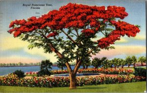 Royal Poinciana Tree Florida Vintage Postcard Standard View Card