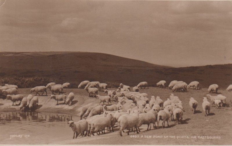 RP; Eastbourne, England, 20-40s ; Sheep at Dew Pond on the Downs