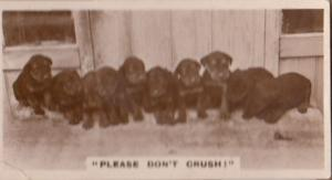 Dont Crush Black Dog Identity Parade Real Photo Dogs Cigarette Card