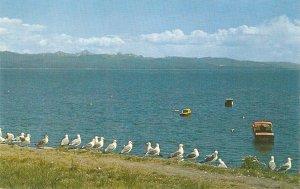 Seagulls on Yellowstone Lake Nice vintage American postcard