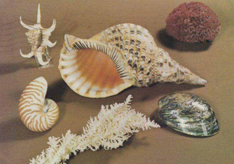 Tritons Trumpet at Devon Sea Shell Museum Postcard