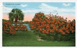 FL - Poinsettias