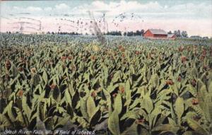 Wisconsin Black River Falls A Field Of Tobacco 1911