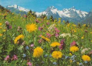 Alpine Meadow Swiss Flower Unusual Rare Flowers Postcard